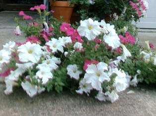 Attack of the monster Petunias