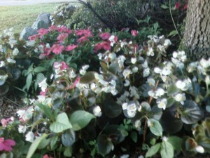 Impatiens (pink) and Begonia (white)