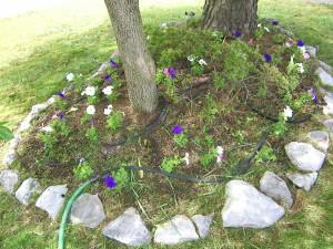 Petunias under the dogwood tree