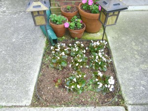Begonias and potted petunias